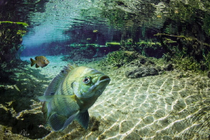 Sunfish composite scene in Florida Springs by Steven Miller