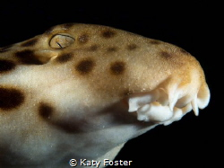 This epaulette shark was photographed in a remote area of... by Katy Foster