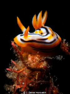Nudibranch under a snoot. by J. Daniel Horovatin