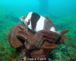 Magpie Perch Rapid Bay South Australia by Debra Cahill