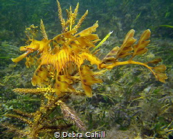 Leafy Sea Dragon Wool Bay Jetty Wool Bay South Australia by Debra Cahill