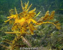 Leafy Sea Dragon Wool Bay Jetty Wool Bay South Australia by Debra Cahill