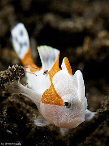Juvenile Clown Frogfish by Iyad Suleyman