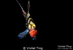 Pterapogon kauderni, male mouth brooding the eggs by Violet Ting
