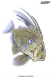 another impression of a john-dory as I see it by Gaetano Gargiulo