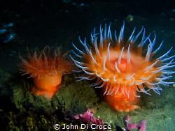 Swimming Anemone in Puget Sound Washington by John Di Croce
