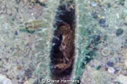 'Crabby Clam' a small crab hides inside a razor clams. by Shane Hermans