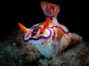 Nudibranch with shrimp by Aleksandr Marinicev