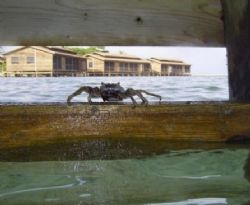 It's King Crab! This cutie was taken July 2004 at Roatan.... by Bonnie Conley