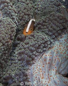 Taken on Mabul Island, Malaysia. The bold white stripe is... by Billy Watson