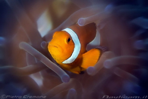Fluo clownfish - shot with radial filter by Pietro Cremone