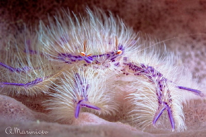 Hairy pink lobster by Aleksandr Marinicev