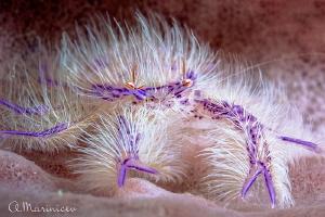 Hairy pink lobster by Aleksandr Marinicev