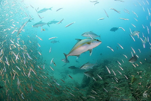 Tropical Yellow Tail (Amber Jack) hunting silversides on ... by Allen Walker