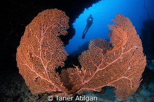 Gorgonia portrait from Maldives. by Taner Atilgan