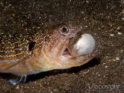 A lizard fish, trying to swallow a juvenile pufferfish. by Oliver Spiesshofer