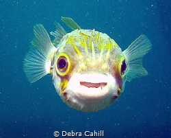 Porcupine fish here's looking at you kid Rapid Bay Jetty ... by Debra Cahill