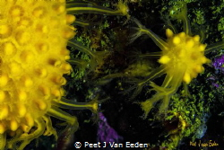 A lesson in how to become a great sun-burst soft coral by Peet J Van Eeden