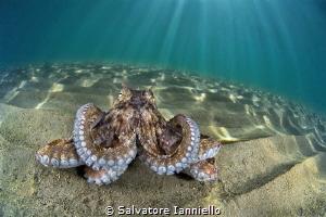 Octopus mammoths by Salvatore Ianniello