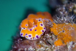 'colourwheel contrast' this nudibranch shot contrasted so... by Shane Hermans