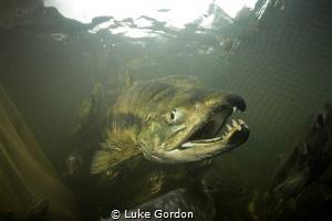 A male Chum Salmon avoiding the nets. These salmon are al... by Luke Gordon