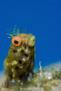 Golden Roughhead Blenny by Henley Spiers
