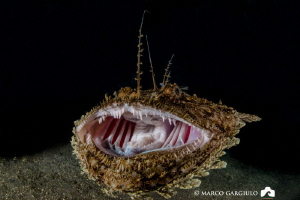 AARRGHHHH   - Anglerfish, night dive by Marco Gargiulo