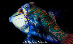 Two Mandarin fishes mating by Stefano Colombo