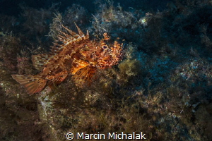 Red Scorpionfish resting by Marcin Michalak