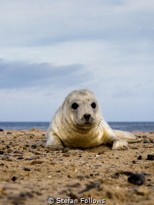 win·some  Grey Seal (pup) - Halichoerus grypus  Horse... by Stefan Follows