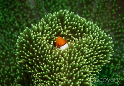 Clownfish hiding in a green anemone by Oliver Spiesshofer