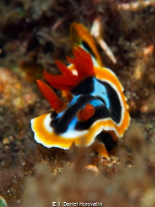 Nudibranch (chromodoris magnifica), an attempt at achievi... by J. Daniel Horovatin