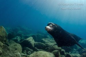 Male Sea Lion encounter, Isla Espiritu Santo Mexico by Alejandro Topete