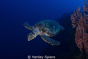 Hawksbill Turtle Head-On by Henley Spiers