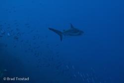 Shark @ T&C's by Brad Trostad