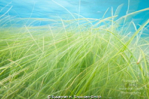 """Prairie Land"" Seagrass takes on the look of a prairie l... by Susannah H. Snowden-Smith"