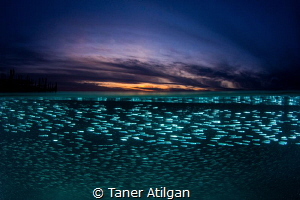 Silversides at sunset by Taner Atilgan