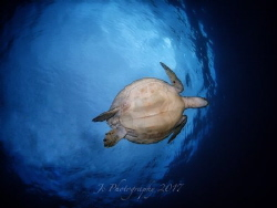 Green sea turtle  (Chelonia mydas)        Dauin, P... by Khow Jin Chee