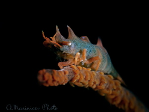 Dragon Shrimp, Anilao by Aleksandr Marinicev
