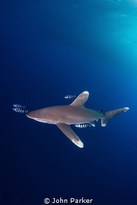 Oceanic White Tip at Little Brother by John Parker