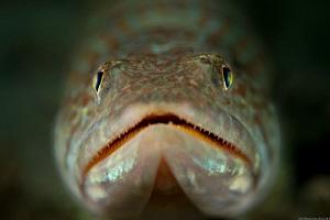 Bluestriped Lizardfish   Blue Heron Bridge FLA USA by John Roach