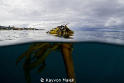 Bull Kelp taken in Monterey, CA. One of my favorite kelp ... by Kayvon Malek