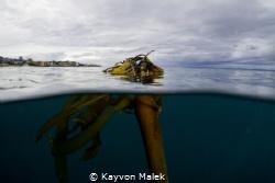 Bull Kelp taken in Monterey, CA. One of my favorite kelp ... by Kayvon Malek