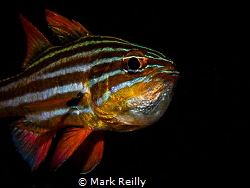 Cardinal fish with eggs by Mark Reilly