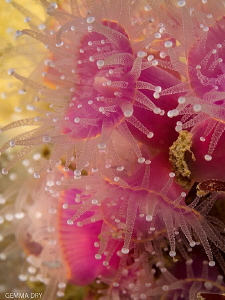 Strawberry anemones - Hermanus - South Africa by Gemma Dry
