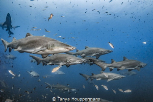 'Summer Break' - Sand tiger sharks spend the summer month... by Tanya Houppermans