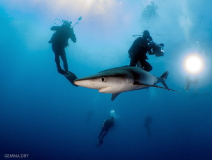 Divers off Cape Point with a Blue Shark by Gemma Dry