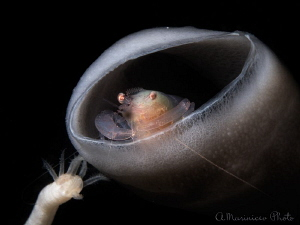 Sponge Commensal shrimp by Aleksandr Marinicev