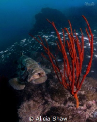 Grouper taken on the Yongala wreck in the GBR. by Alicia Shaw