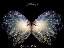 BUTTERFLY by Lilian Koh